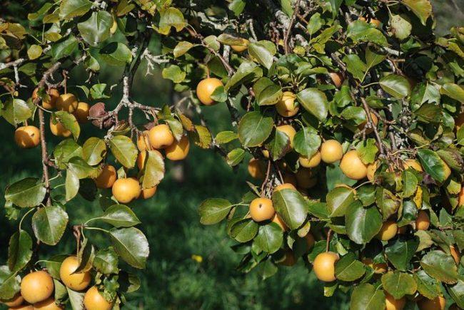 Ветки взрослой яблони сорта Желтое сахарное с плодами в стадии технической спелости
