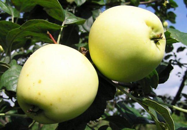 Два яблока сорта Золотое летнее бледно-желтого окраса на ветке взрослого дерева