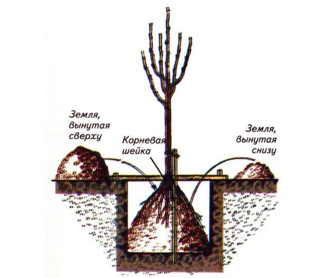 Схема размещения саженца яблони и заполнения посадочной ямы