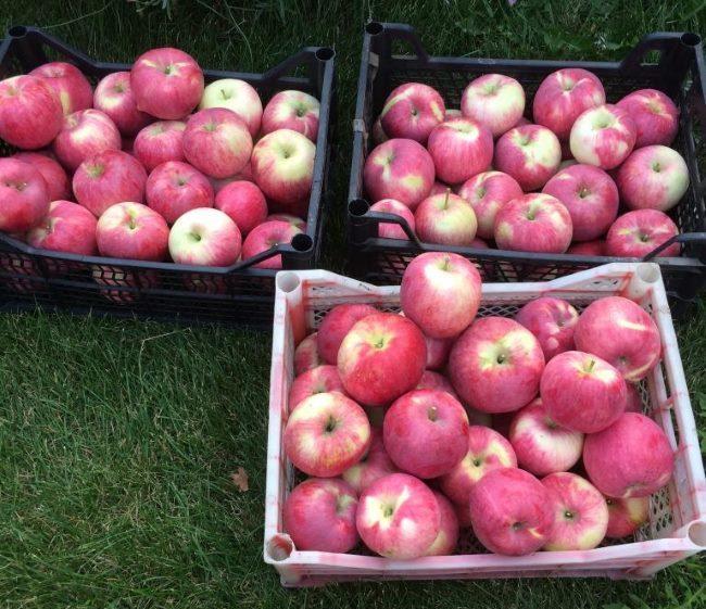 Урожай спелых яблок летнего сорта Мельба в пластиковых ящиках