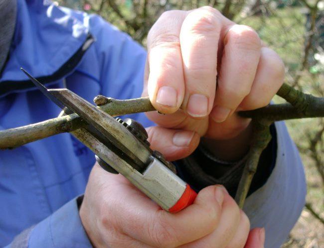 Нарезка черенков яблони для прививки мостиком при повреждении ствола грызунами