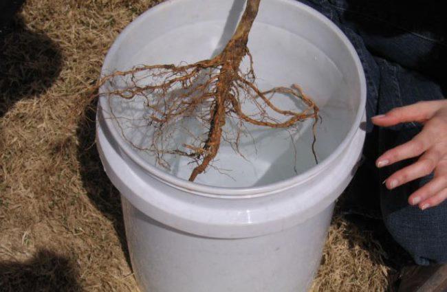 Замачивание корней саженца яблони за два часа перед посадкой