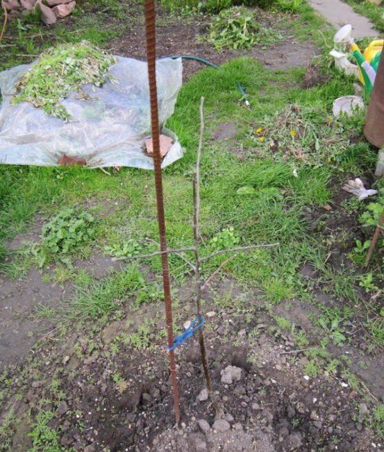 Саженец яблони без признаков набухания почек в начале апреля