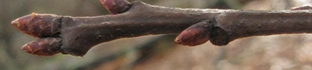 Засохли две почки на ветке дерева яблони