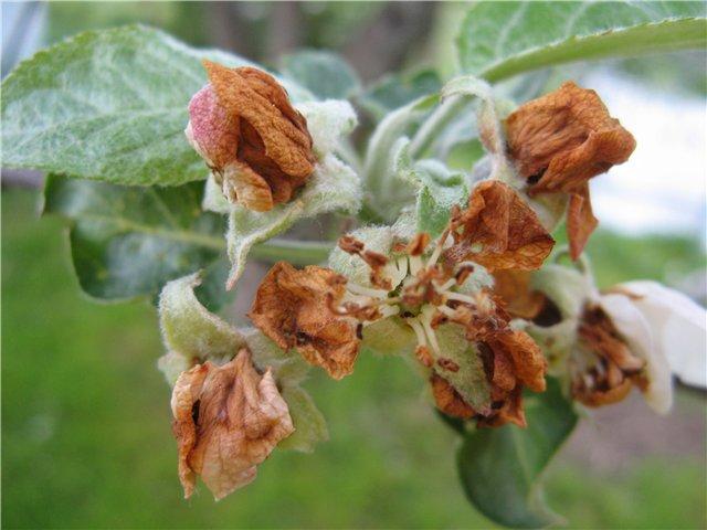Засохшие бутоны яблоневых цветов при поражении личинкой жука долгоносика
