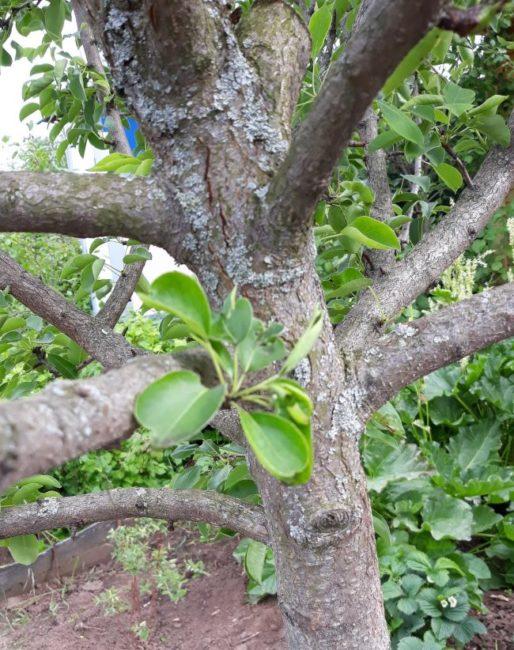 Центральный ствол засыхающей яблони с признаками поражения черным раком