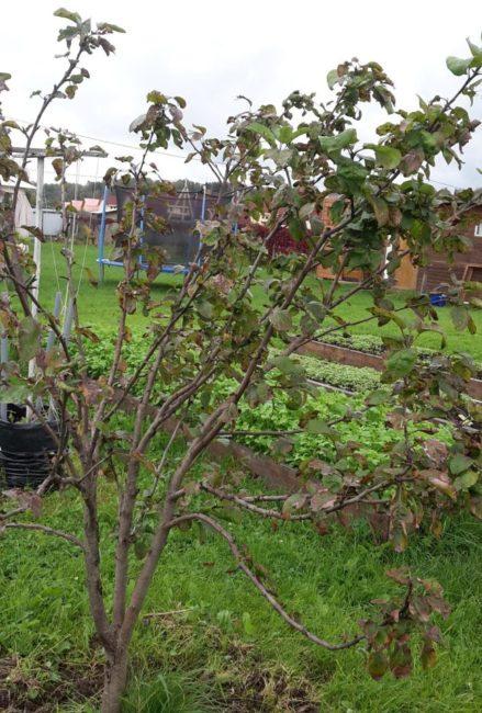 Дерево молодой яблони с засыхающими ветками и побуревшими листьями