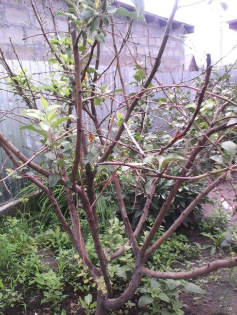 Засыхание веток яблони при повреждении морозами корневой системы