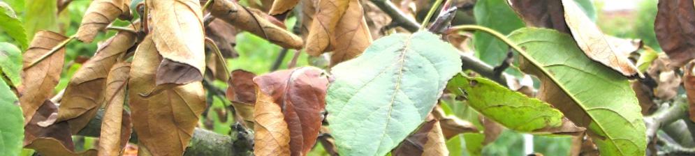 Завяли и засохли листья на ветке яблони рядом ещё зелёные