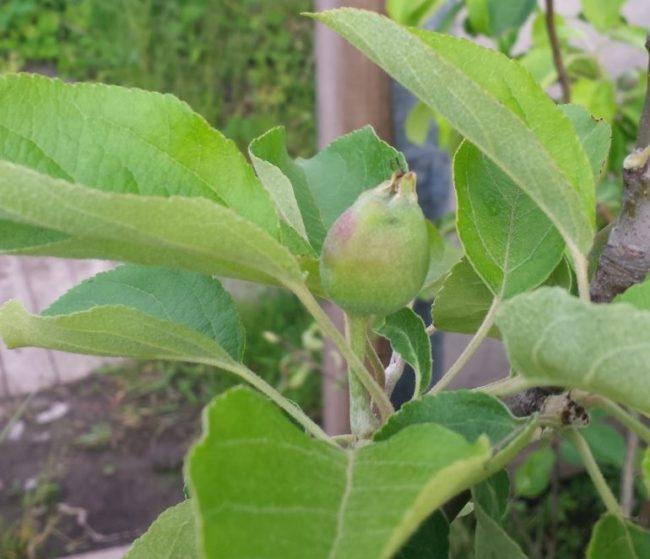 Завязь плода яблони сорта Белый налив народной селекции вблизи