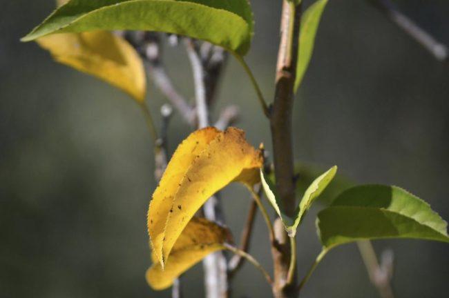 У молодой яблони пожелтели листья рядом с зелёными