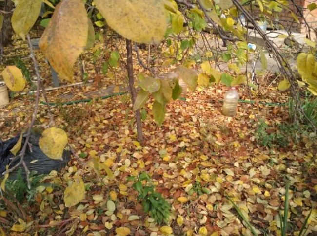 Приствольный круг яблони с опавшими листьями желто-коричневого цвета