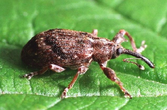 Темно-коричневый жук-долгоносик на молодом листе яблони