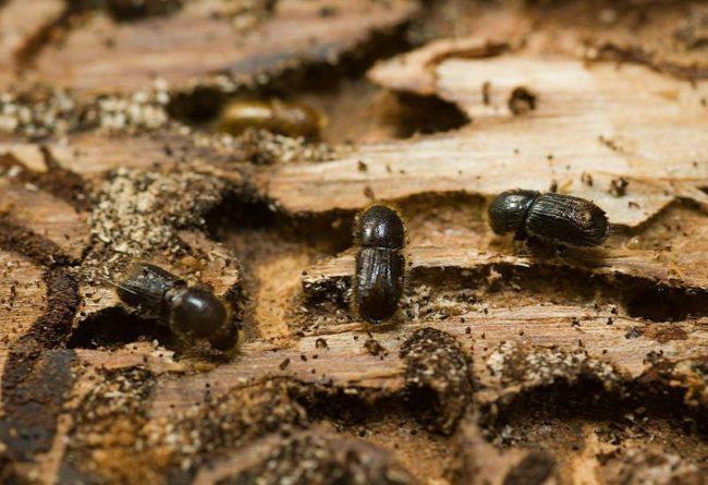Мелкие темно-коричневые жуки яблоневого короеда прогрызли ходы в древесине