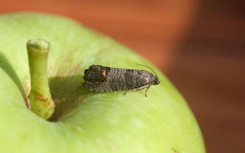Небольшая серая бабочка плодожорка на кожице зеленого яблока