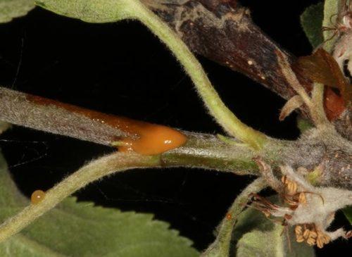 Молодая ветка яблони с выделением коричневого цвета при бактериальном ожоге