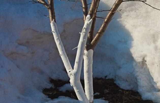 Беленные стволы молодой яблони в период активного таяния снега в конце зимы