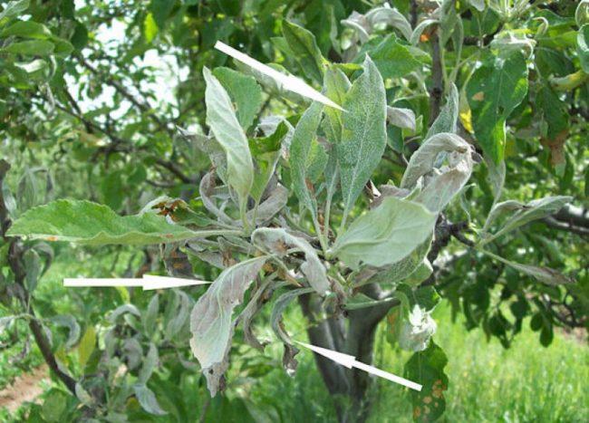 Листья яблони с симптомами заражения плодового дерева мучнистой росой