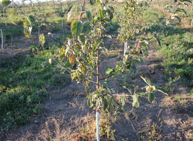 Скрученные листья с серыми пятнами от мучнистой росы на молодой яблоньке