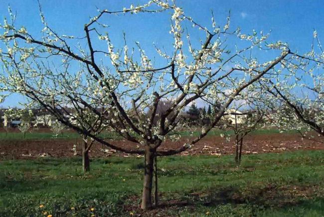 Фото взрослого дерева яблони с чашевидной формой кроны в начале цветения