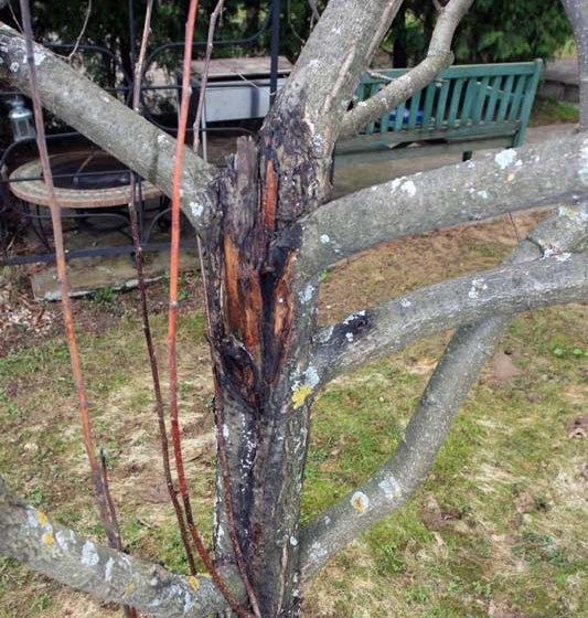 Ствол старой яблони с ранами в запущенной стадии черного рака