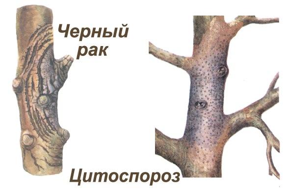 Различия между черным раком и цитоспорозом на коре яблони