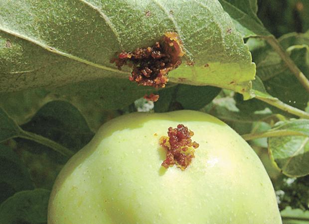 Место проникновения гусеницы яблоневой плодожорки в зеленый плод