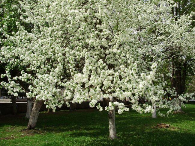 Первое цветение яблони популярного сорта Антоновка в частном саду