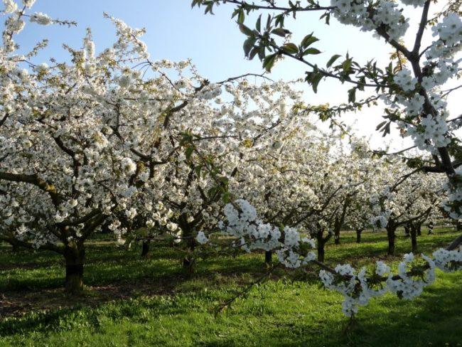 Обильное цветение сада с плодовыми сливами ранней весной