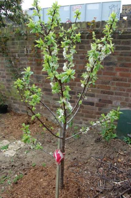 Первое цветение молодого деревца сливы возле кирпичного забора на дачном участке