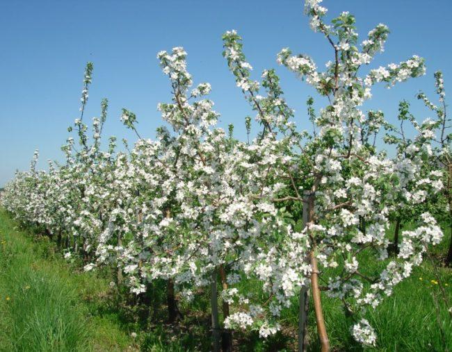 Обильное цветение молодых яблонь в саду фермерского хозяйства