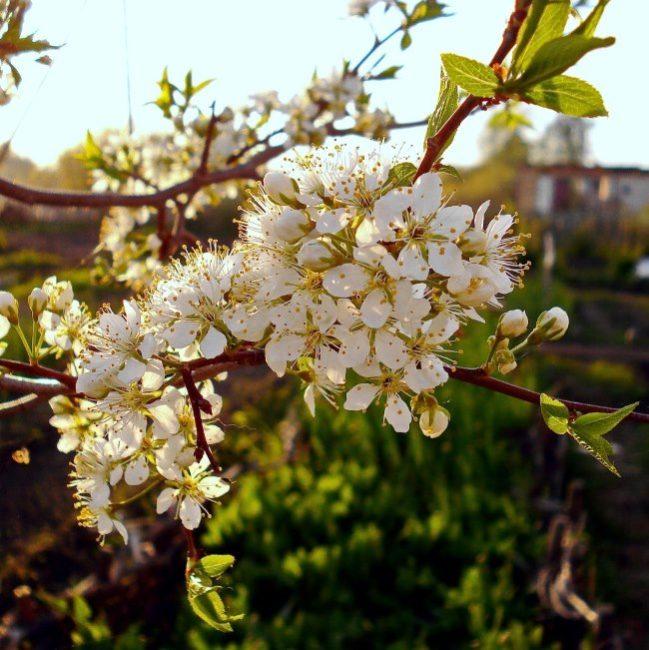 Ветка дерева сливы селекционного сорта Орловский сувенир во время цветения