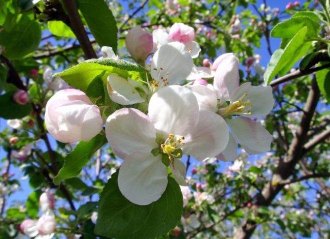 Крупные цветки с розово-белыми лепестками сортовой яблони вблизи