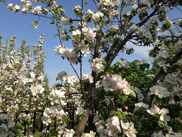 Бело-розовые цветки на ветках селекционной яблони в начале мая