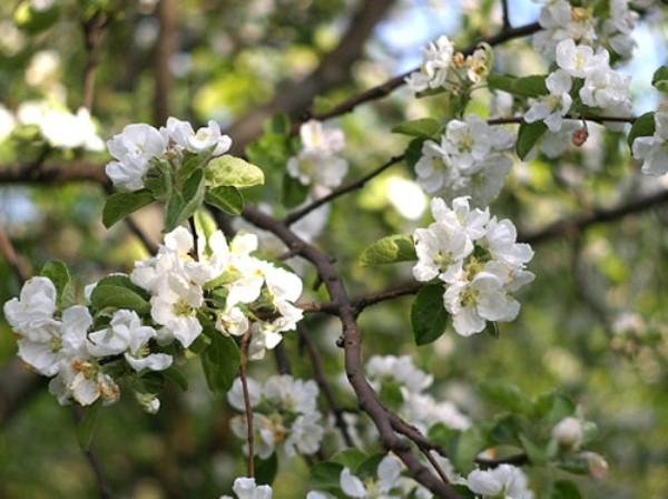 Крупные цветки яблони с белыми лепестками на ветках гибридного дерева