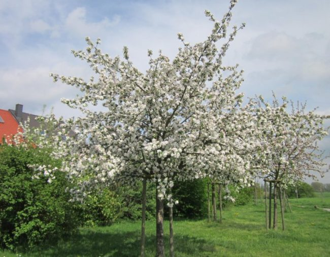 Обильное цветение молодых яблонь в саду загородного участка