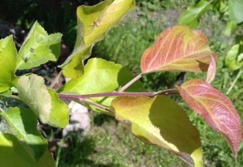 Листья яблони с типичными симптомами недостатка фосфора в питании