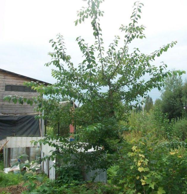 Взрослое дерево сливы гибридного сорта Орловский сувенир с длинными ветками