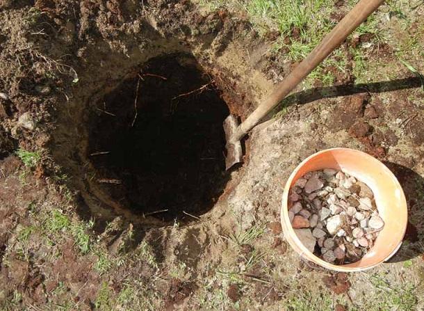 Устройство дренажа в посадочной яме для саженца яблони