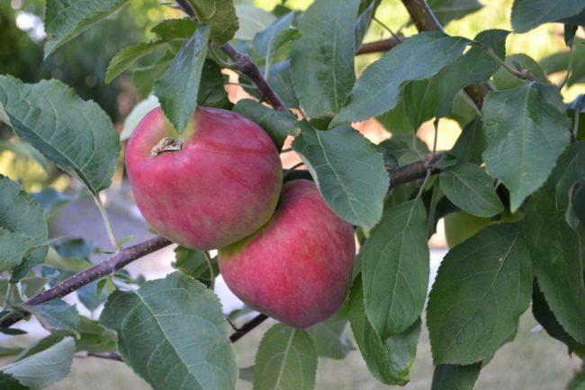 Два конусовидных плода с небольшой ребристостью на ветке яблони