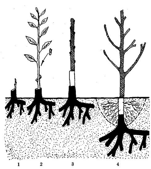 Схема проведения двойной окулировки на семенном подвое яблони