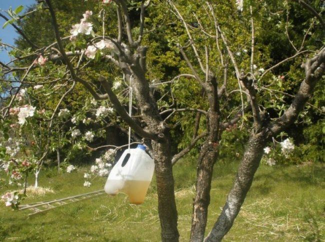 Самодельная феромонная ловушка из канистры на старом дереве яблони
