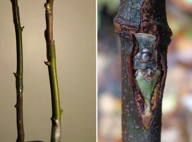 Фото с наглядными примерами бокулировки щитком и черенком плодовых растений