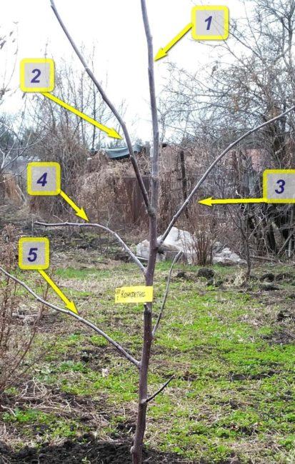 Фото молодой яблони с нумерацией веток для правильной весенней обрезки
