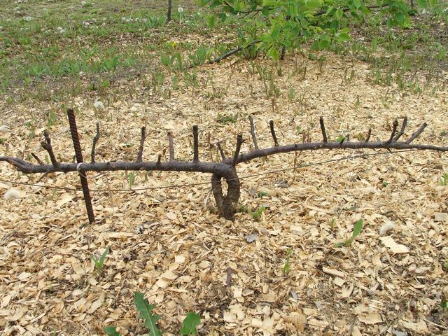 Низкорослая яблоня с двумя гребня, низкорасположенными к земной поверхности