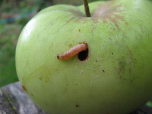 Зеленое яблоко с гусеницей плодожорки розового окраса