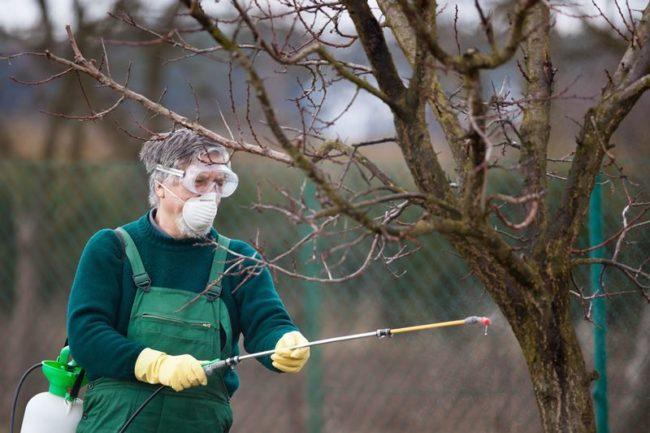 Весеннее искореняющее опрыскивание плодовых деревьев раствором медного купороса