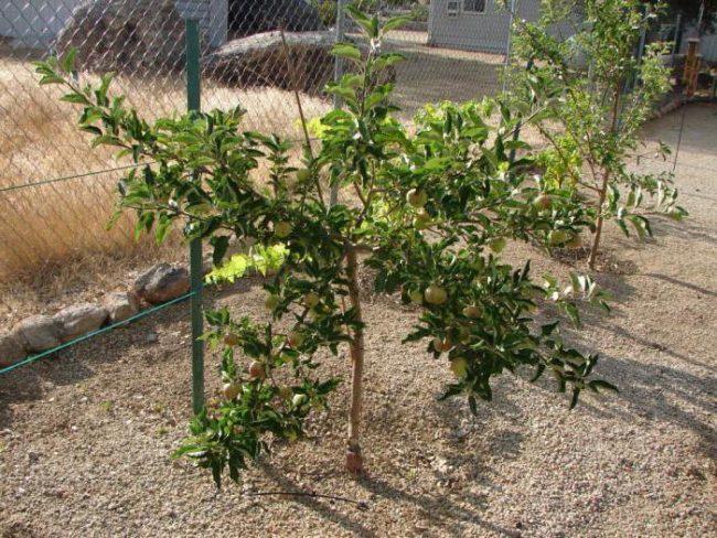 Молодые деревца карликовых яблонь вдоль забора из сетки рабицы