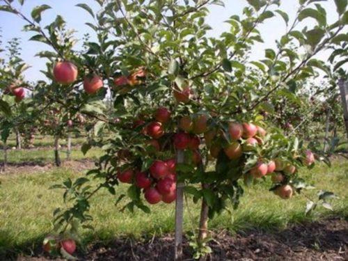 Красные плоды на небольшой яблоне карликового сорта