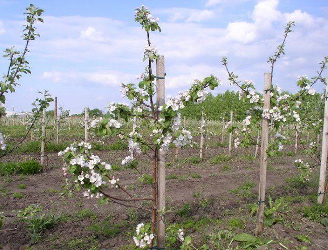 Цветение неюольших карликовых яблонь на клоновом подвое ММ 106